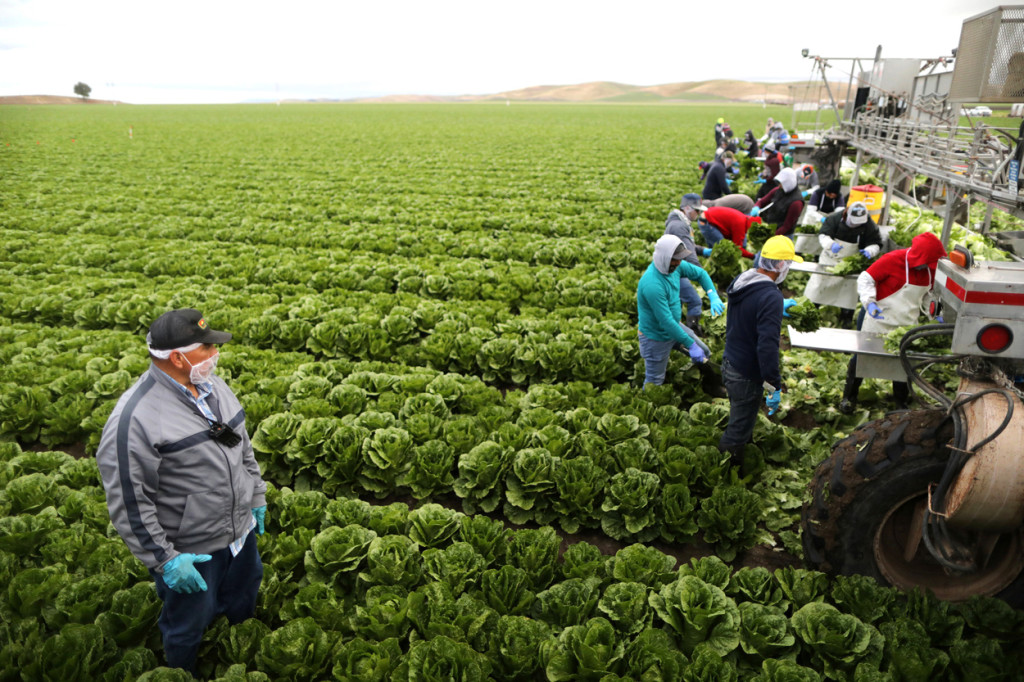 Migrant farmers with visas harvest romaine lettuce in King City, Calif., April 17. (CNS photo/Lucy Nicholson, Reuters) See WASHINGTON-LETTER-TPS July 27, 2017.